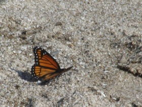 Monarch on Rock Point Prov Park beach