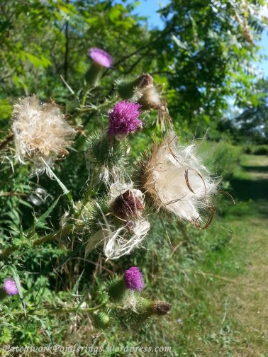 native Ontario 'field thistle'